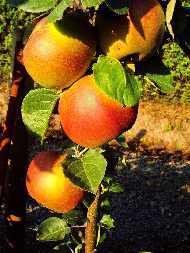 Apfel Roter Boskoop. Busch. 1 Pflanze