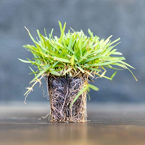 Zoysia Plugs - 50 Full & Lush Grass Plugs | Mature Roots | Individually Grown