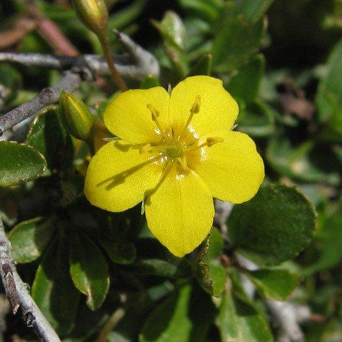 Plant World Seeds - Lysimachia Serpyllifolia Seeds