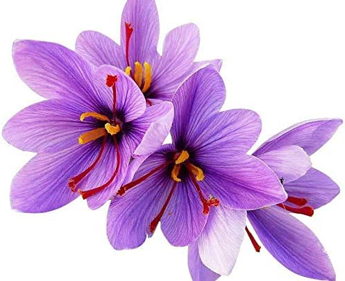 DOCIVA SHOP 10 Saffron Regular discount Crocus Jumbo Rare Spice Fall Bulbs Bloomi SEAL limited product