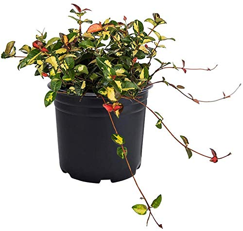 AMERICAN PLANT EXCHANGE Asian Jasmine Summer Sunset Live Plant, 6' Pot, Red, Cream and Green Foliage