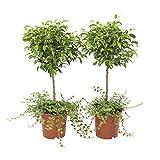 Plantes d'intérieur de Botanicly – 2 × Figuier rampant – Hauteur: 65 cm – Ficus Pumila