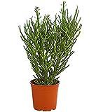 Dehner Bleistiftbaum, dicht verzeigte Wuchsform, ca. 40-50 cm, Ø Topf 17 cm, Zimmerpflanze