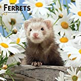 Ferrets 2021 12 x 12 Inch Monthly Square Wall Calendar, Domestic Furry Animals