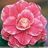 3 TWO TONED BEGONIA BULBS - CAMELIA - ORDER NOW for SPRING SHIPPING!