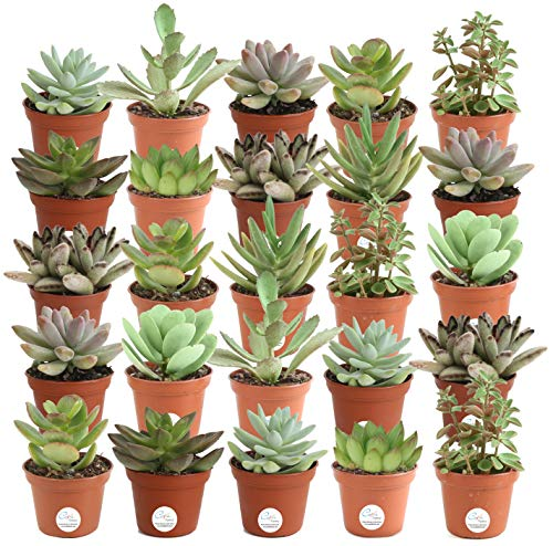 Costa Farms Mini Succulents Fully Rooted Live Indoor Plant, 2-Inch Choice, in Grower Pot, 25-Pack