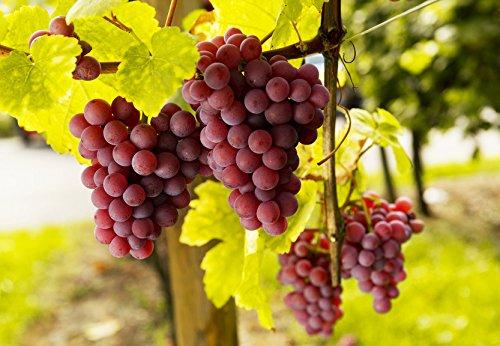 Weintrauben Pflanzen kernlos Suffolk Red Weinrebe winterhart Weintraube pilzfest Wein rosa Frücht 60-100 cm im Topf