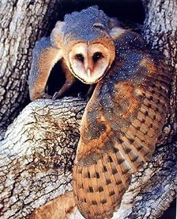 Barn Wall Decor Owl Bird Wildlife Animal Art Print Poster (16x20)