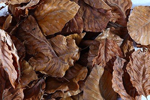 Buchen Laubblätter (braun), 100 Blätter - Garnelen- Schnecken- und Krebsfutter