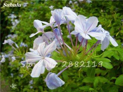 Belle Bonsai Blanc Saxifraga « Neige de printemps » Graines de fleurs vivaces De jardin les plus populaires Nature Plantes à effet de serre 120 Pcs 12