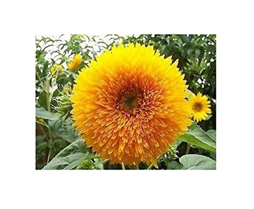 Stk - 20x Sunflower Teddy Bear Sonnenblume Teddybär Pflanzen - Samen B319 - Seeds Plants Shop Samenbank Pfullingen Patrik Ipsa