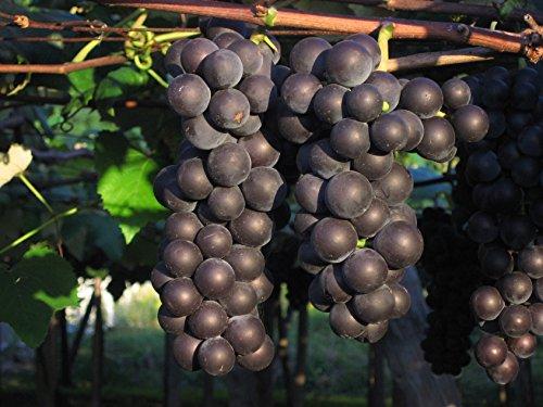 北海道ワイン『おたるプレミアムキャンべルロゼ』