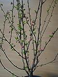 Mandelbäumchen Busch Prunus triloba 60 cm hoch im 3 Liter Pflanzcontainer