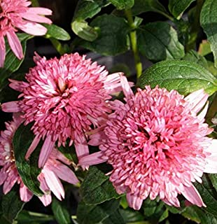 Bareroot Echinacea Butterfly Kisses Double Puffy Coneflower 3