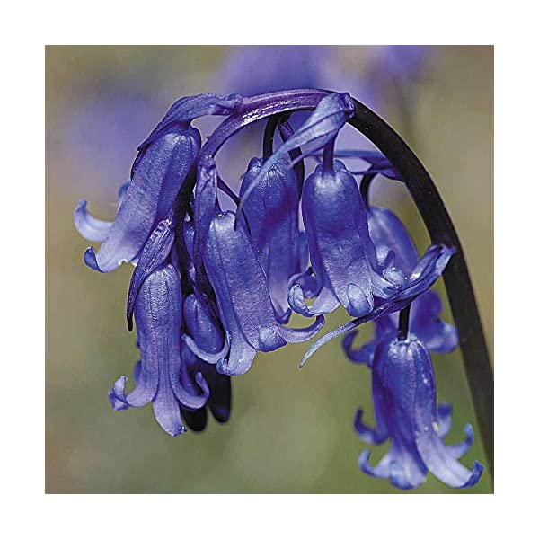 British Wildflower - English Bluebell - 50 Seeds
