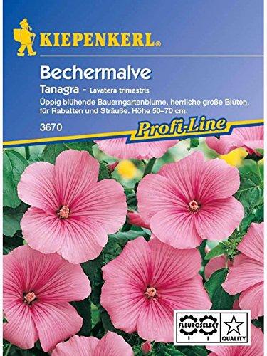 Lavatera Bechermalve Tanagra rosa