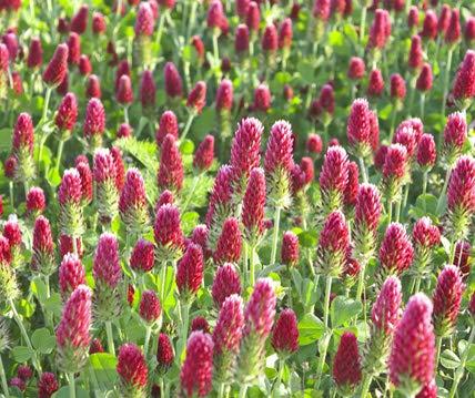 Inkarnatklee Bodenkur von bobby-seeds, staudige Gründüngung und Bienenweide 500 Gramm