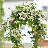 4 pezzi Clematide Lampadine Regali di giardinaggio ad alto tasso di germinazione Bulbo da fiore perenne cimelio di famiglia Facile da piantare Semina per tutto l'anno Alto valore ornamentale