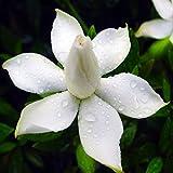 Rosepoem 50 Unids / 3g Cabo Jazmín Gardenia Semillas...