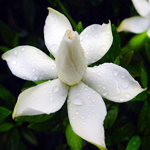 Rosepoem 50 Unids / 3g Cabo Jazmín Gardenia Semillas Fragante Fácil Cultivar...