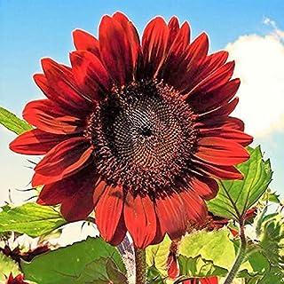 Velvet Queen Sunflower Seeds for Planting | Heirloom | Non-GMO | 50 Sunflower Seeds per Planting Packet | Fresh Garden Seeds
