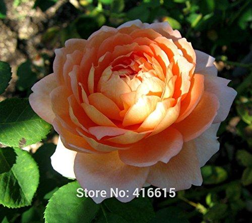 100 Graines Mill cardage Rose English Rose, David Austin Rose Graines Plantes Fleur Bonsai Jardin