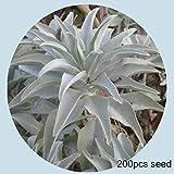 Dovlen 200 Pcs/Set Bianco Salvia Salvia Semi Erbe Decorazione Fai da Te Aromatico Fragrante Fiore Pianta da Giardino