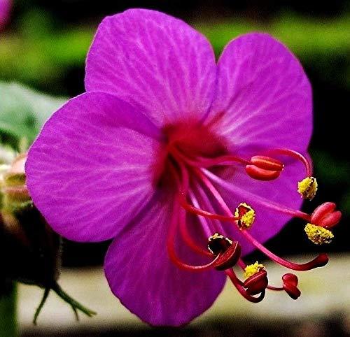 Portal Cool Hardy Staude Balkan-Storchschnabel Rot Rosa Blumen 10 Samen