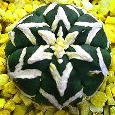 airrais 100pcs Cactus Succulent Seeds Plants Annual Planting Home Garden Bonsai Flowers
