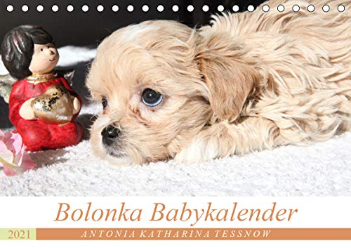 Bolonka Babykalender 2021 (Tischkalender 2021 DIN A5 quer)