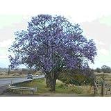 ブルージャカランダ - 壮大なツリー - ジャカランダMimosifolia - 10個の種子