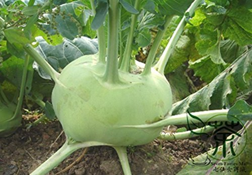 90 Pcs Super Big Radis Seeds, 9 variétés Mix Red Hearts Mini, Pieds rares Radis, naturel délicieux Graines de légumes