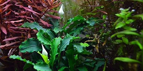 Tropica Aquarium Pflanze Bucephalandra 'Wavy Green Nr.139 Wasserpflanzen Aquarium Aquariumpflanzen