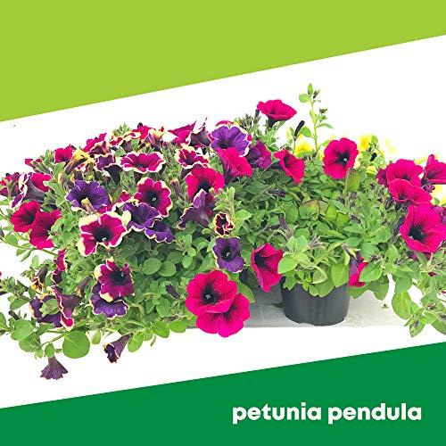 Petunia Pendula (6 PIANTE) - Fiori NON commestibili - Azienda agricola Carmazzi