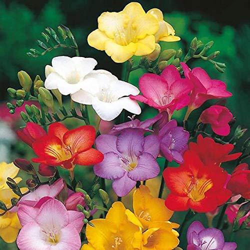 Soteer Seed House - Freesia Seed Blend Perfume Semillas de flores Semillas de flores Jardín interior Raro Bonsai Bulbos para jardín Balcón/Patio