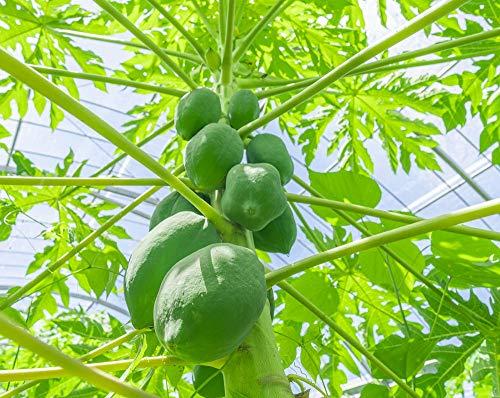 アララガマ農園『西表島産青パパイヤ(PPY02)』