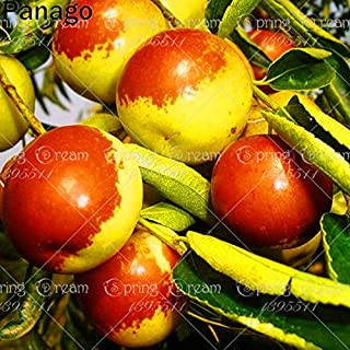 Go Garden 10pcs Chinese jujube Date Tree Plant Sweet Crisp Fruit Gaint Jujube Bonsai Potted Outdoor Plant for Home Courtyard