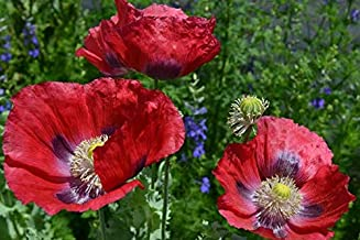 Giant Red Poppy Papaver Somniferum Premium Seed Packet