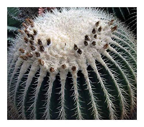 Echinocactus grusonii v alba - Coussin de belle-mère - épines blanches - 10 graines