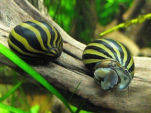 Polar Bear's Pet Shop 5 Zebra Nerite Snails Live Freshwater Aquarium Snail