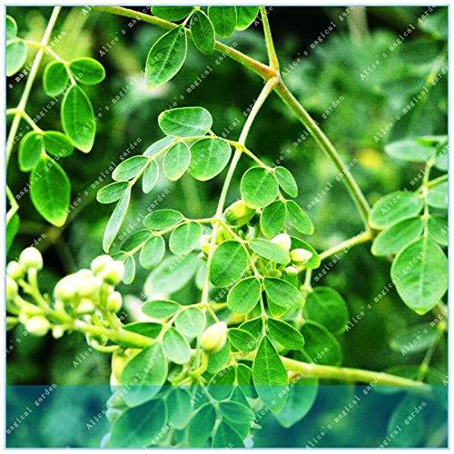 Ferry Seltene exotische 20pcs Moringa-Baum Perennial Bonsai Interessante Außen Anlage für Hausgarten