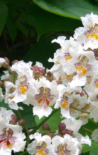 Seedeo Trompetenbaum (Catalpa bignonioides) 50 Samen