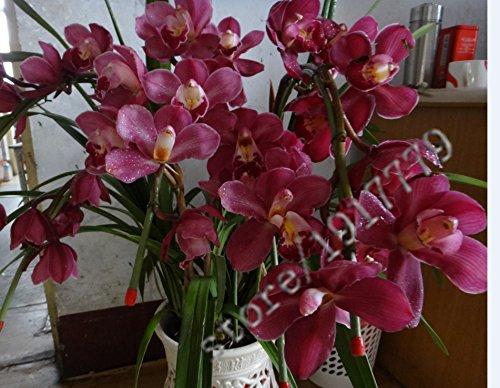 21 colori 100 PCS semi Cymbidium, Rare Stagioni bonsai semi di orchidee, piante in vaso, fiori blu per la casa e giardino,