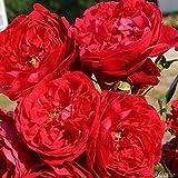 Kletterrose Falstaff in Dunkel-Rot - Kletter-Rose duftend, Englische Rose - Pflanze für Rankhilfe im 5 Liter Container von Garten Schlüter - Pflanzen in Top Qualität