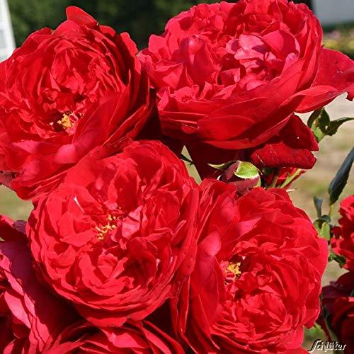 Kletterrose Florentina in Rot - Kletter-Rose winterhart - Pflanze für Rankhilfe im 5 Liter Container von Garten Schlüter - Pflanzen in Top Qualität