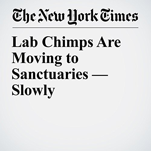 Lab Chimps Are Moving to Sanctuaries — Slowly copertina