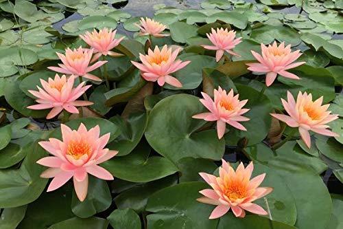Nenúfares naturales,Las hojas verdes son hermosas en tu jardín.Hermosas flores-2,50pcs