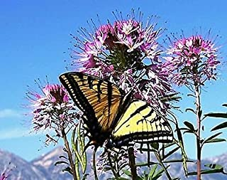 Cleome serrulata Pursh Rocky Mountain Beeplant Waa  20_Seeds TO US