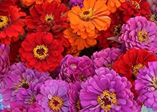 50+ Magellan Mix Zinnia Flower Seeds / Long Lasting Annual / Maroon, Pink, Lavender