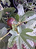 Fig Plant, Black Mission, Gallon Size, considered Best All Round fig, Very Popular fig, originated from Spain, pear Shaped, Black to Purple Black Color, Will Bear Fruit Coming Season (1 Gallon, Potted)